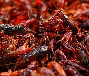 小龙虾对于其他物种危害有哪些?